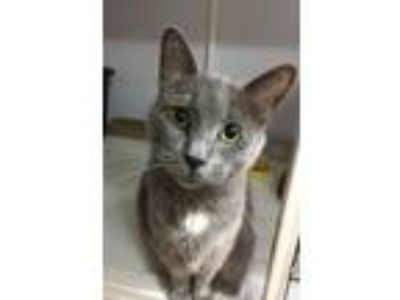 Adopt Hayes a Russian Blue