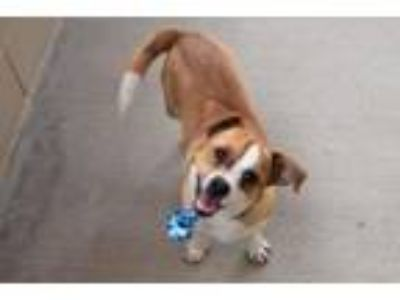 Adopt Philly a Beagle