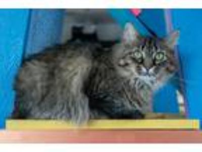 Adopt Tess a Gray, Blue or Silver Tabby Maine Coon (long coat) cat in