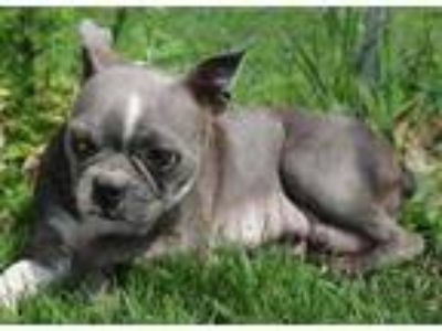 Adopt Blue a Gray/Blue/Silver/Salt & Pepper Boston Terrier / Mixed dog in