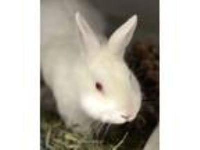 Adopt George a American / Mixed rabbit in Novato, CA (25367828)