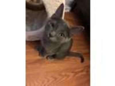 Adopt Elena a Domestic Short Hair, Russian Blue