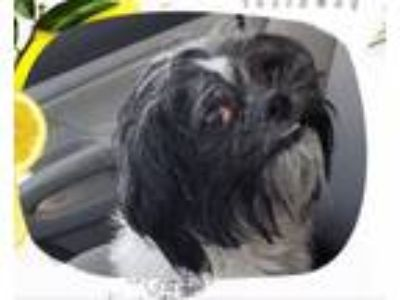 Adopt Moo Moo a Black - with White Shih Tzu / Mixed dog in Cranston