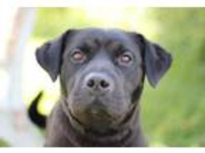 Adopt Skeeter a Black Labrador Retriever / Shar Pei / Mixed dog in Louisville