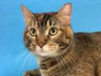 Adopt Carrot Patch a Domestic Short Hair