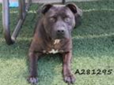 Adopt SABLE a Pit Bull Terrier, Mixed Breed