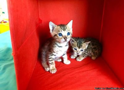 New Era Bengal Kittens Ready Now!