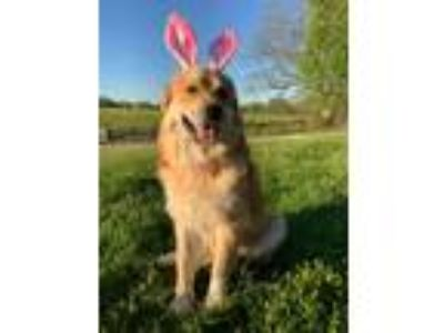 Adopt June a Tan/Yellow/Fawn - with White Golden Retriever / Great Pyrenees /