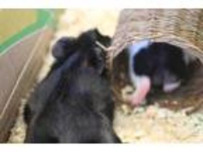 Adopt BERNIE a Black Guinea Pig / Mixed small animal in Waterford, VA (25930247)