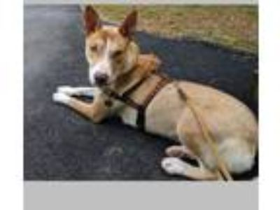 Adopt Kirra a Labrador Retriever, German Shepherd Dog