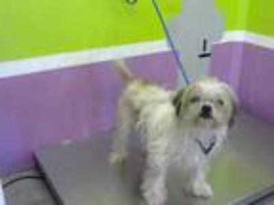 Adopt LOVELY a Tricolor (Tan/Brown & Black & White) Shih Tzu / Mixed dog in