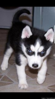 three cute Siberian husky puppies ready for their new home}}||}}