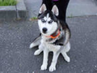 Adopt *MISTY a Black - with White Husky / Mixed dog in Santa Rosa, CA (25593114)