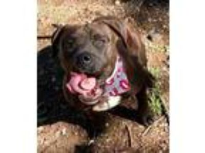 Adopt BUFFY a American Staffordshire Terrier, Pit Bull Terrier