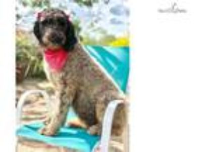 Cookie - Standard Female Poodle