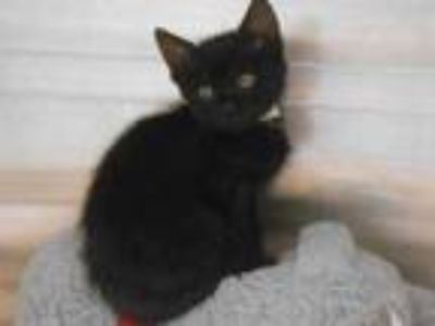 Adopt RANGER a Domestic Short Hair