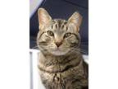 Adopt Ramses a Domestic Short Hair