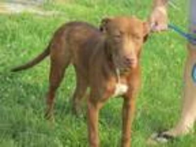 Adopt Andy a Chocolate Labrador Retriever, Terrier
