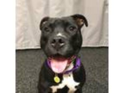 Adopt Buck a Black American Pit Bull Terrier / Mixed dog in Milwaukee