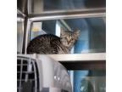 Adopt Pen 56 Phinnaeus a Domestic Short Hair