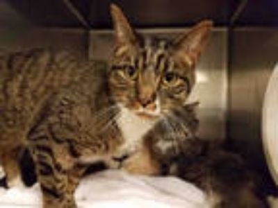 Adopt RALPH a Brown Tabby Domestic Shorthair / Mixed (short coat) cat in