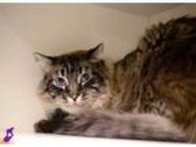 Adopt DOMINICK a Brown or Chocolate Himalayan / Mixed (long coat) cat in Murray