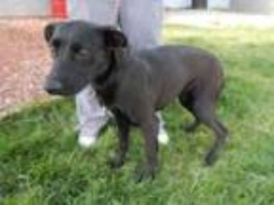Adopt EMERY* a Labrador Retriever, Mixed Breed