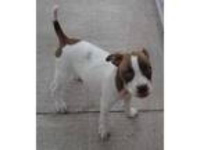Adopt Lizzie a White American Pit Bull Terrier / Mixed dog in Fairfield