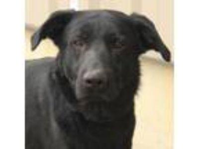 Adopt Skynyrd a Labrador Retriever