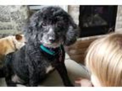 Adopt Lucy a Black Poodle (Miniature) / Mixed dog in Salem, OR (25460285)