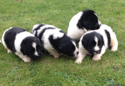Newfoundland puppies for xmas