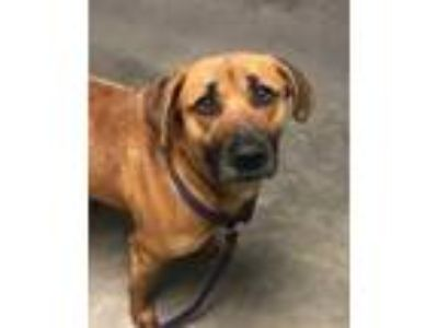 Adopt Rainy a Red/Golden/Orange/Chestnut Shepherd (Unknown Type) / Mixed dog in