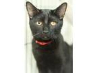 Adopt Jay a Domestic Short Hair