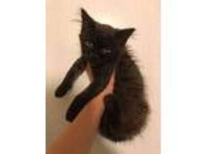 Adopt Onyx a Domestic Medium Hair