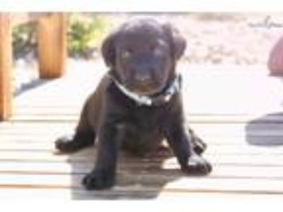 Black Female Labrador Puppies