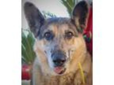 Adopt Callie a German Shepherd Dog / Mixed dog in Las Vegas, NV (23725719)