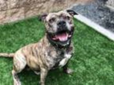Adopt Ringo a Pit Bull Terrier