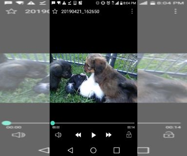 Lhasa Apso PUPPY FOR SALE ADN-129921 - Lhasa apso mix puppies