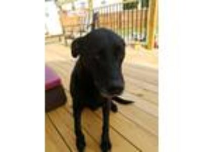 Adopt Libby a Black Labrador Retriever