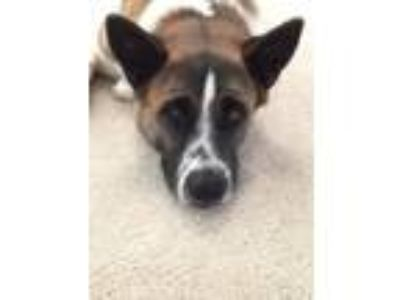 Adopt Hana a Tan/Yellow/Fawn - with Black Akita / Mixed dog in Mabank