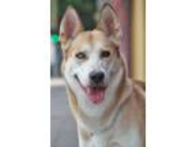 Adopt Kaleb von Kaleko a Tricolor (Tan/Brown & Black & White) German Shepherd
