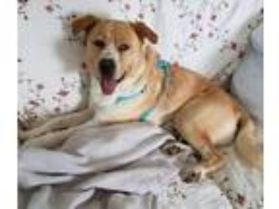 Adopt Dexter a Labrador Retriever / Labrador Retriever dog in Maryville