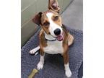 Adopt Penny a Hound, Terrier