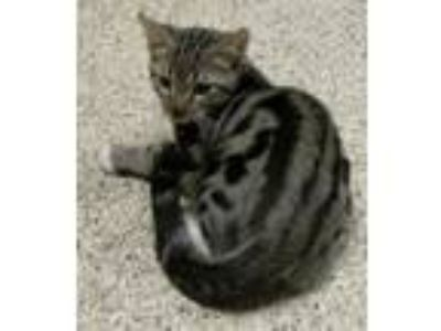 Adopt Frog a Domestic Short Hair