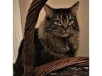 Adopt Vespa a Brown Tabby Maine Coon (long coat) cat in Lombard, IL (25345044)