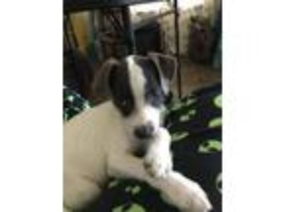 Adopt Peace (Panda) a Gray/Silver/Salt & Pepper - with White Miniature Poodle /