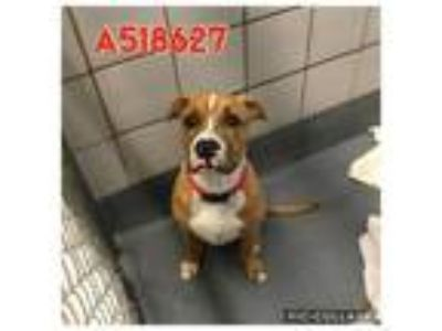 Adopt SAVAGE a Tan/Yellow/Fawn - with White Boxer / Mixed dog in San Antonio