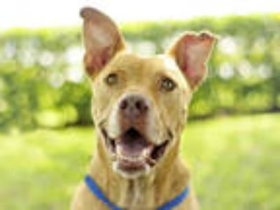 Adopt DIESEL a Tan/Yellow/Fawn Labrador Retriever / Mixed dog in Tavares