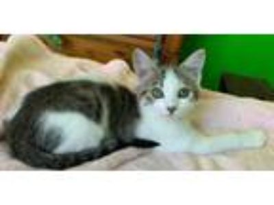 Adopt Bailey a Tabby, Domestic Short Hair