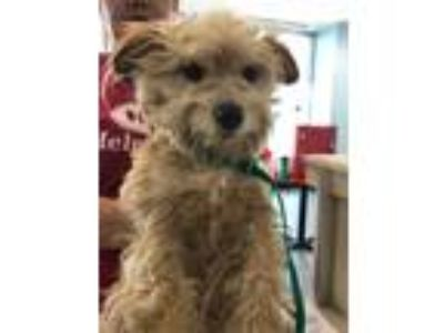 Adopt JACK a Brown/Chocolate Terrier (Unknown Type, Medium) / Mixed dog in San